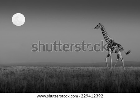 Giraffe walking towards the full moon on the plains of the Masai Mara in black and white