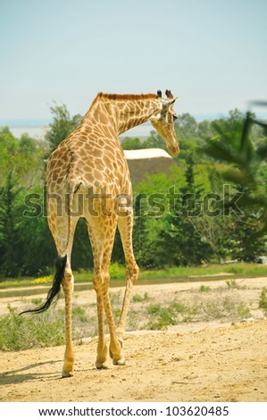 Giraffe walking with trees in the background