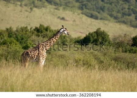 Giraffe walks free in a wild African Park