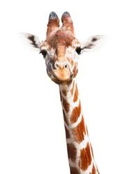 Giraffe white background