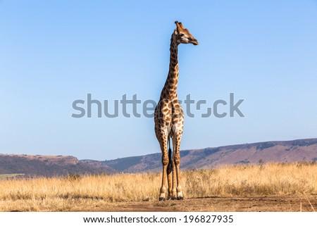 Giraffe Wildlife Animals Wildlife giraffe animals alert in habit wilderness safari park reserves over the rugged terrain.