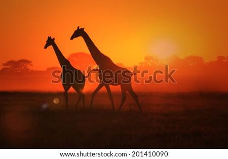 Giraffe - Wildlife Background from Africa - Beautiful Nature and Sunset Wonder of Gold