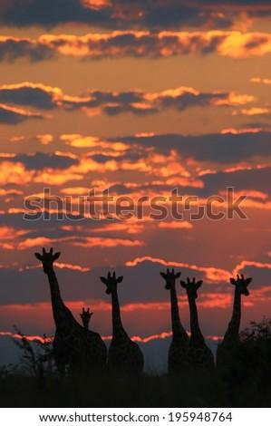 Giraffe - Wildlife Background from Africa - Sunset Wonder and Beautiful Gold