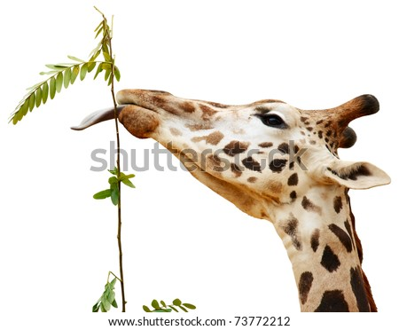 Giraffe with one's tongue hanging out isolated on white background.
