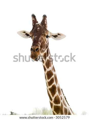 giraffe with sticking out tongue on white