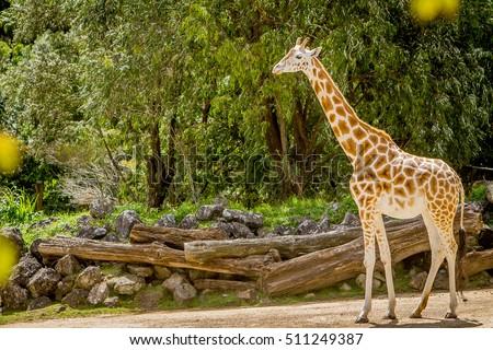 giraffe, zebra and ostrich in a wildlife park, zoo safari