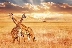 Giraffes against sunset in the african savanna. Wild nature of Africa.