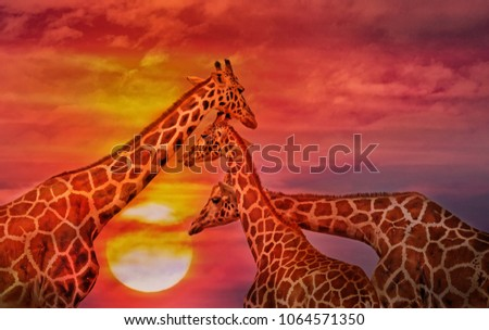 Giraffes against the sunset sky. African background #1064571350