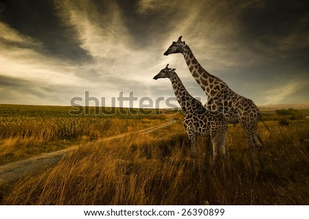 Giraffes and The Landscape #26390899