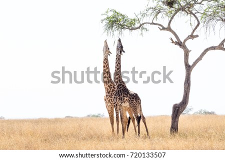 Giraffes are eating from tall tree