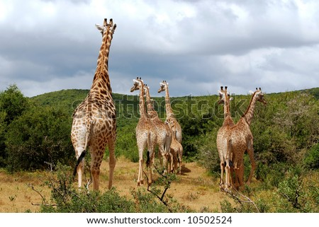 giraffes at hasty escape