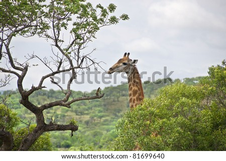 Giraffes at Hluhluwe-Umfolozi Game Reserve, located 280 km north of Durban, is the oldest proclaimed park in Africa. In central Zululand, KwaZulu-Natal, South Africa and is known for its rich wildlife