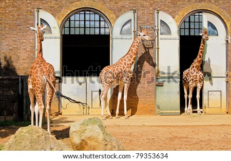 Giraffes at the London Zoo in Regent Park