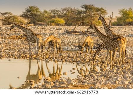 Giraffes at waterhole in Okaukeujo, Etosha nature reserve, Namibia