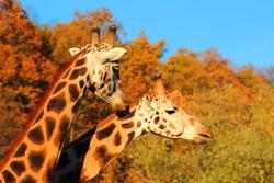 Giraffes couple falling in love.