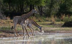 giraffes drinking at a waterhole.
