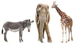 giraffes, elephant and zebras isolated on white