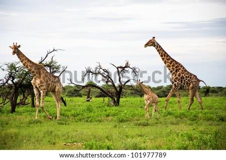 Giraffes family in Etosha Park, Namibia