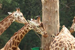 Giraffes feeding at a park in the UK