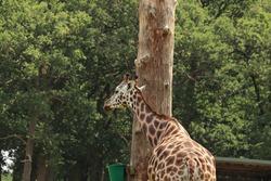 Giraffes feeding at a safari park in the UK