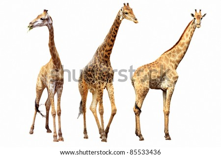 giraffes females and males isolated