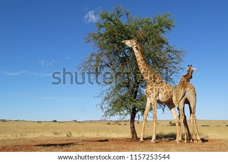 Giraffes (Giraffa camelopardalis) feeding on a thorn tree, South Africa #1157253544