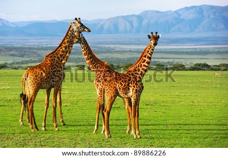 Giraffes group in the Ngorongoro conservation area, Tanzania