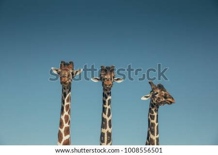 Giraffes heads Saying hello in a Safari  #1008556501
