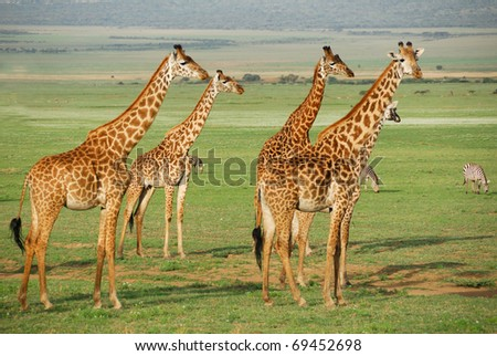 Giraffes herd in the african savannah