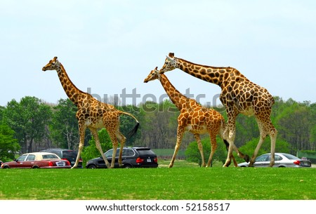 Giraffes in a man made safari in the United States