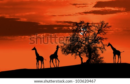 Giraffes in Africa at sunset silhouette