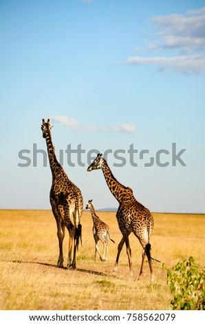 Giraffes in african jungle #758562079