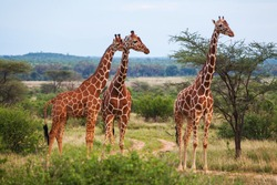 Giraffes in Kenya