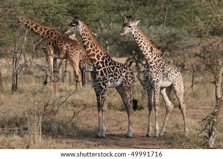 Giraffes in Serengeti National Park very close