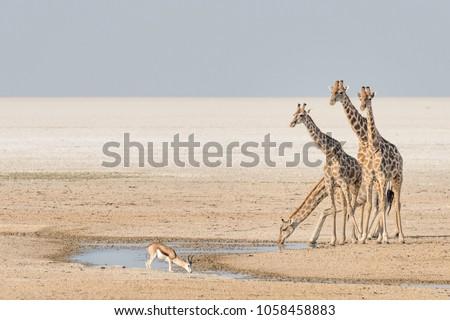 Giraffes in the Etosha salt pan in Namibia\n