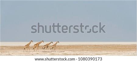Giraffes in the Etosha salt pan in Namibia
