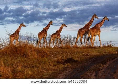Giraffes in the Masai Mara National Reserve in Kenya