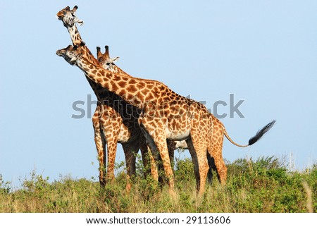 Giraffes in  the Masai Mara Reserve (Kenya)