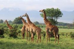Giraffes in Tsavo East National park of Kenya, Africa