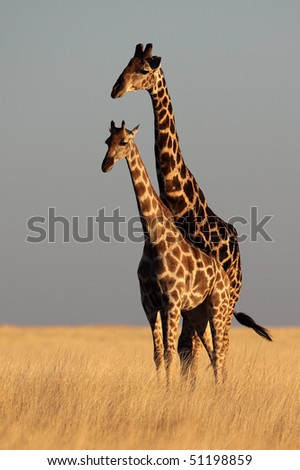 Giraffes in yellow savanna