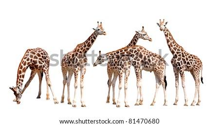 giraffes isolated