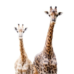 Giraffes isolated on white background, This Scientific Name is Giraffa camelopardalis