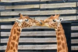 Giraffes, love, kiss