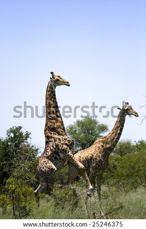 stock photo : Giraffes mating ~ Not an everyday sight