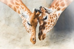 Giraffes, mother and baby giraffe, tenderness