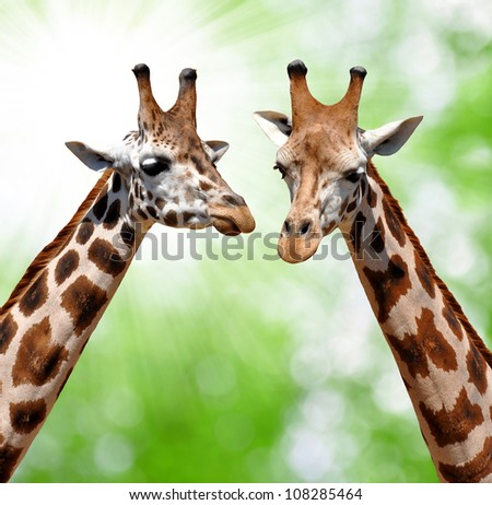 giraffes on natural green background