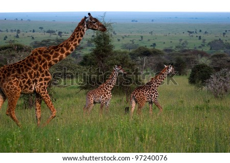Giraffes on the Serengeti Tanzania Africa