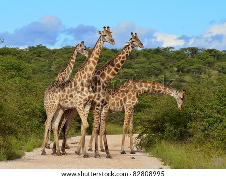 giraffes snack