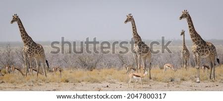 Giraffes standing vigilant ver a nearby lion standing vigilant o Foto stock ©
