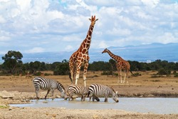 Giraffes waiting at waterhole as zebras drink water. Ol Pejeta Conservancy, Kenya, Africa. Endangered animals Reticulated giraffes, Giraffa camelopardalis reticulata. Equus quagga drinking